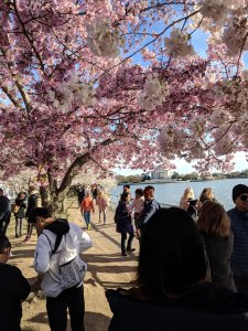 Cherry tree in full bloom with people milling about at the tidal basin, overlooking Jefferson Memorial in background